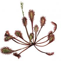 Oblong-leaved or Spoonleaf Sundew